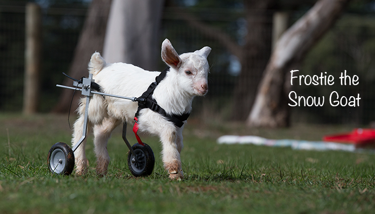 In Memory of Frosty The Goat Local PT Studio Help Raise Needed Funds